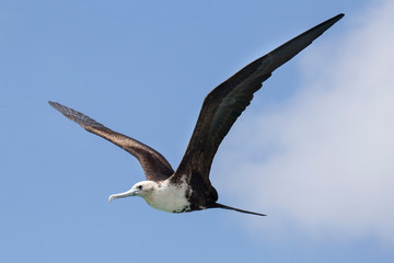 Fregattvogel auf Curacao (Karibik)