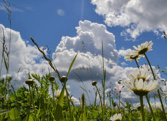 Chamomiles on a background of blue sky with clouds