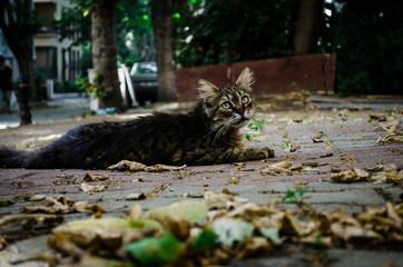 Feral Wild Cat Laying in Sidewalk