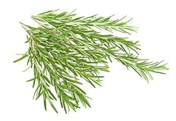 Juicy green rosemary isolated  on a white background. Organic healing and medicinal herbs.