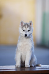 A cheerful gray husky