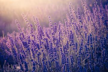 Obraz Lavender flowers, blooming in sunlight - fototapety do salonu