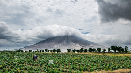 Papiers peints Volcan SINABUNG VOLCANO, SUMATRA, INDONESIA - September 28, 2016: Woman farmer ignores the volcano eruption and continues her work. Eruption of Sinabung killed several people in recent years.