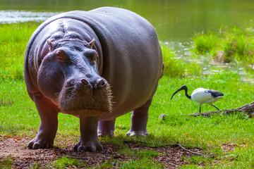 Hippopotamus eating. Africa Kenya.