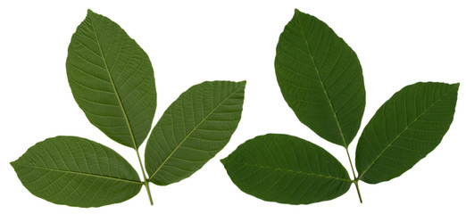 Walnut tree leaf