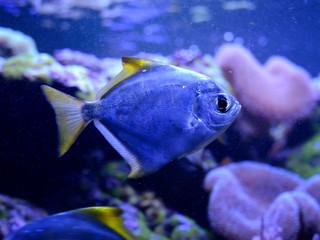 Silver moony, Monodactylus argenteus, in salt water aquarium. Tropical coral reef marine life