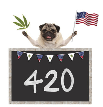 Happy smiling pug puppy dog waving American National flag of USA, with 420 on blackboard, isolated on white background