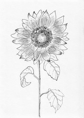 sunflower sketch
