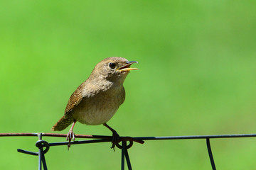 House wren sitting on a wire fence singing.