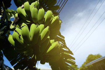 Low Angle View Of Banana Tree with Light Leak.