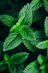 Green Mint Plant Grow Background.