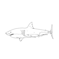 White shark hand drawn sketch  illustrations of engraved line