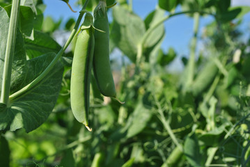 Peas plant with ripe green pods, raw in field, organic farming, closeup, blue sky background