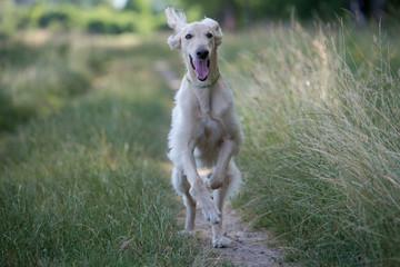 Kyrgyzian  Sight hound Taigan dog running on the grass.