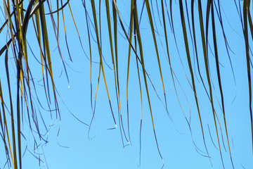 Section of Palm Leaf Ends Blowing in Wind  Background