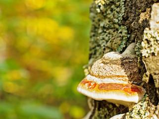 Chaga mushroom (Inonotus obliquus) on the trunk of a birch on a background of yellow autumn foliage
