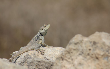 Lizard, Paphos, Cyprus