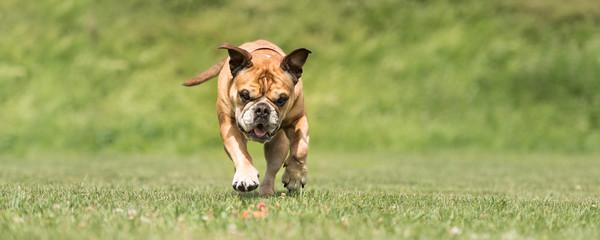 Hund rennt zum Spielzeug - Continental Bulldog