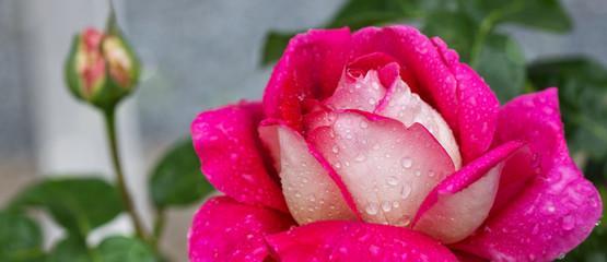 Macro shot of a pink white rose.