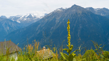 A blossoming flower against a backdrop of mountains in the Swiss Alps.