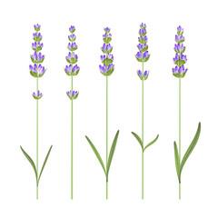 Wall Mural - Set of lavender flower elements. Vector illustration bundle.