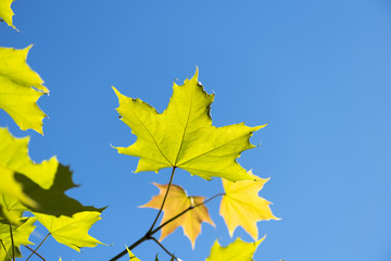 Background with yellow and green maple leaves in sunlight