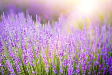 Sunset over a violet lavender field in Provence, France
