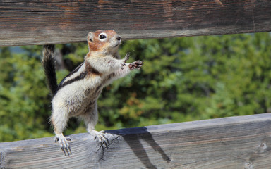 Squirrel, Canada