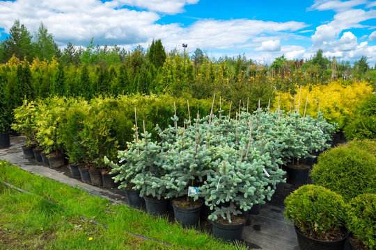 Fir trees, juniper, cypress and thuja in pots for sale.