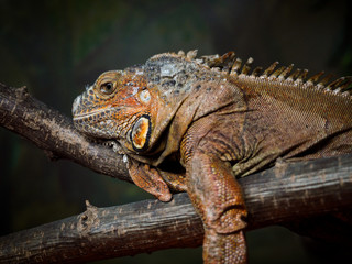 A big beautiful lizard lies on a branch with open eyes