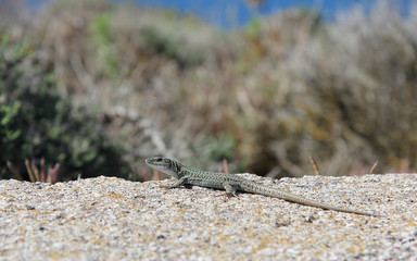 Lizard, Santorini, Greece
