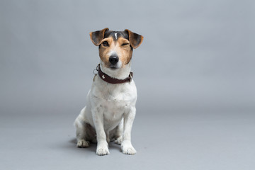 dog jack russell