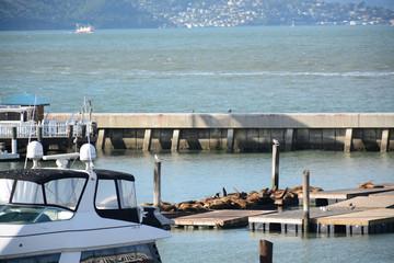 A lot of sea lions rest near Pier 39 in San Francisco