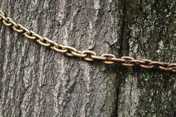 the old chain on the trunk of an old tree,