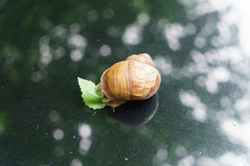 Grape snail for a walk on the hood of the car.