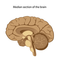 Human brain anatomy, median section, unlabeled.