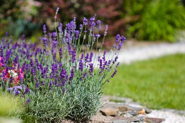 Autocollant pour porte Lavande summer flowers in the garden - lavender