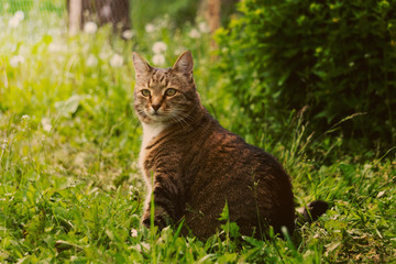 A large tabby cat is sitting in the grass.