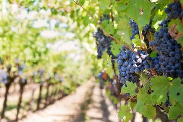 Grappes de raisin rouge dans une vigne