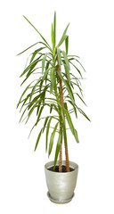 Large houseplant, tall tree in a pot isolated on white