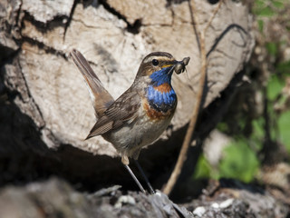 Bluethroat male sitting on stump with worm in beak. Beautiful colorful nightingale with orange-blue breast. Front view. Bird in wildlife.
