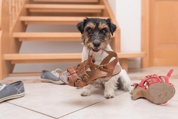 Gehorsamer Hund hält einen Schuh durch Klickertraining - Jack Russell Terrier 2 Jahre alt