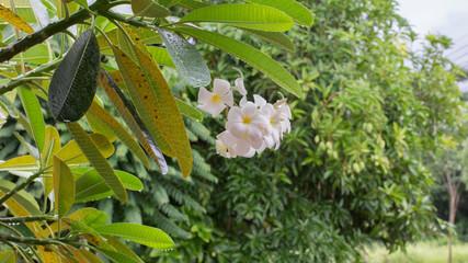 White and Yellow Plumeria flower in rainy season