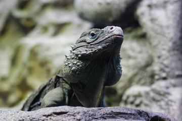 Iguana looking up
