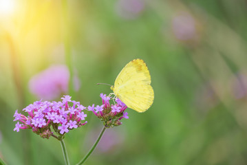 Brilliant yellow Cloudless Sulphur butterfly feeding on pink Verbena bonariensis flower against a green background in a Summer garden.