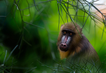 Colorful Mandrill Monkey peers out from foliage, composite