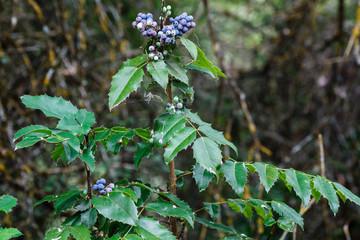Berberis aquifolium. Arbusto con frutos de Mahonia, Uva de Oregón.
