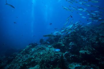 Photo sur Aluminium Recifs coralliens White tip shark