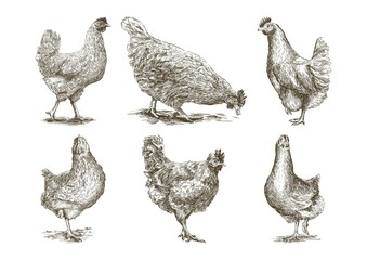 chicken breeding. animal husbandry. vector sketches on white