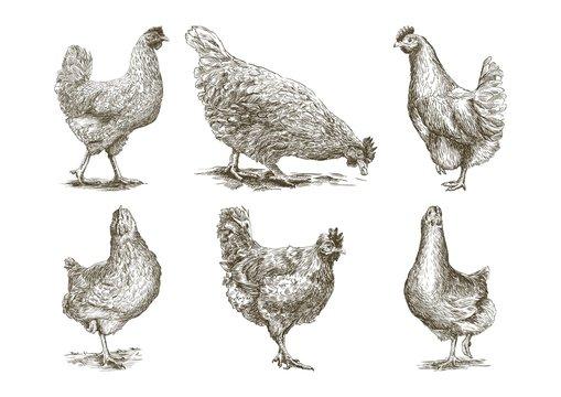 chicken breeding. animal husbandry. vector sketches on white